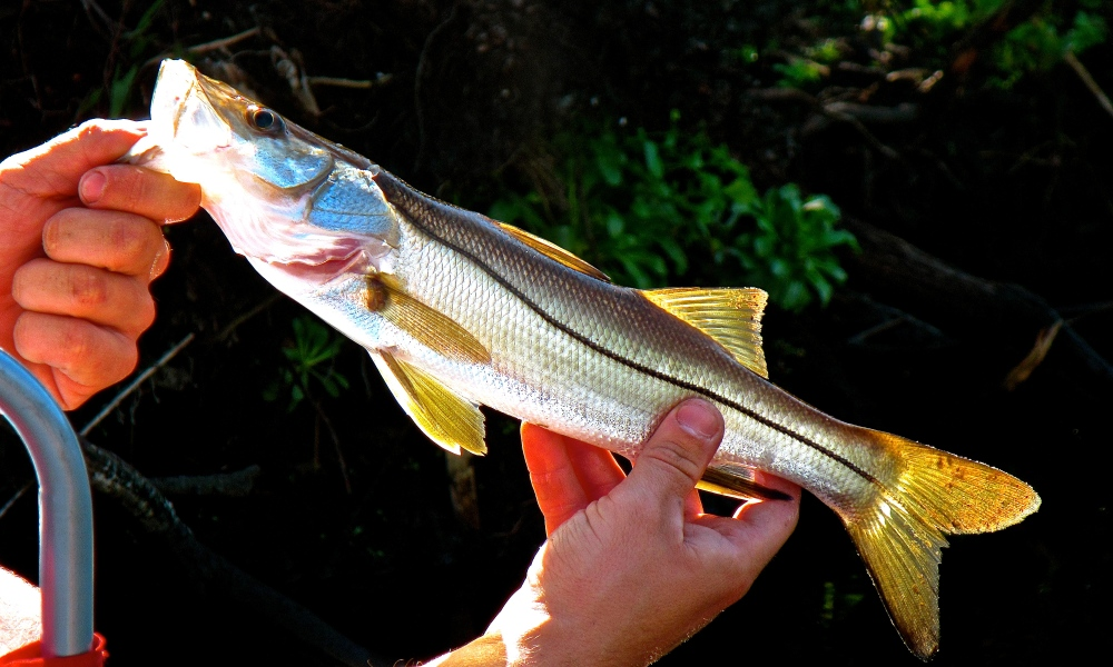 Baby Snook Count Too!