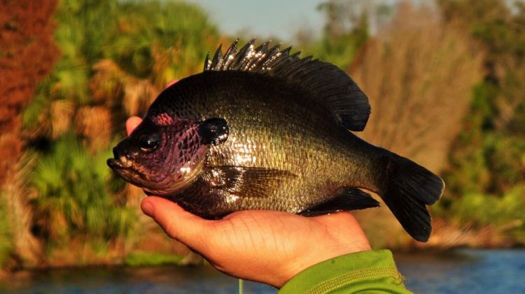 Dark Backwater Bluegill