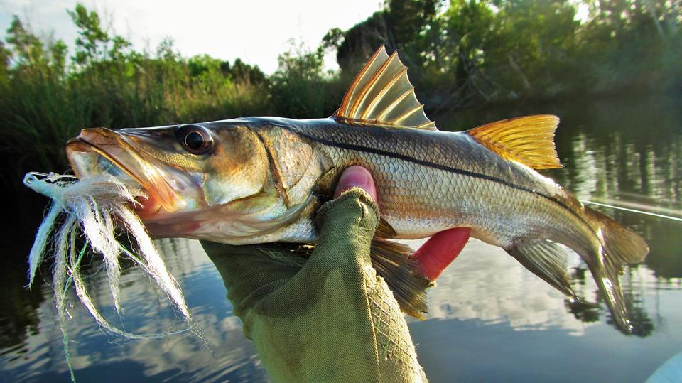 Baby snook on a big ole fly!