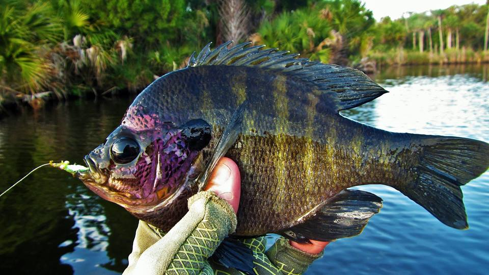 Snook bass and monster bluegill backwater fly fishing for Bluegill fly fishing