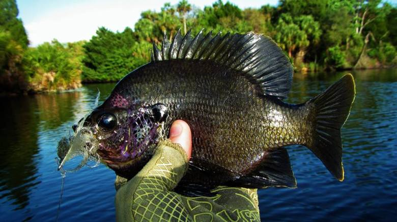 Big Bluegill on the fly!