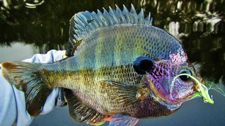 Monster Backwater Bluegill