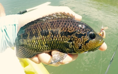 Female Rainbow Bass