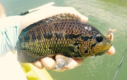 Female Rainbow Bass