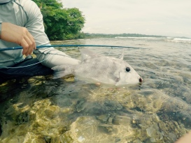 Triggerfish on the Fly