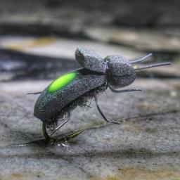 Blue Ridge Beetle