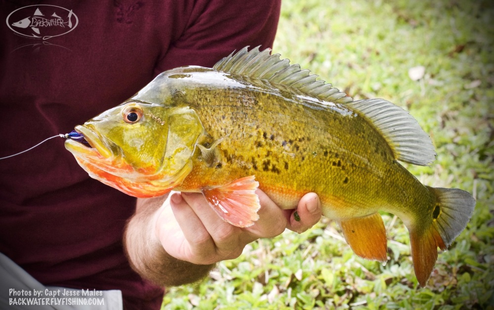 fly fishing for peacock bass