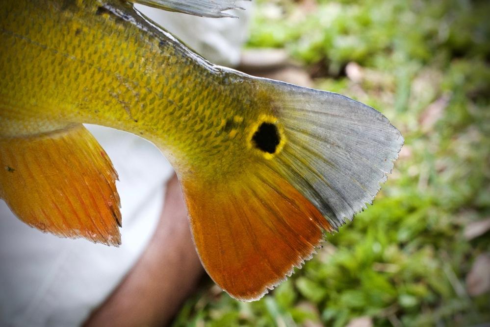 South Florida Peacock Bass