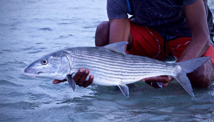guadeloupe bonefish