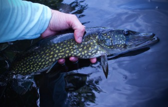 pickerel on the fly