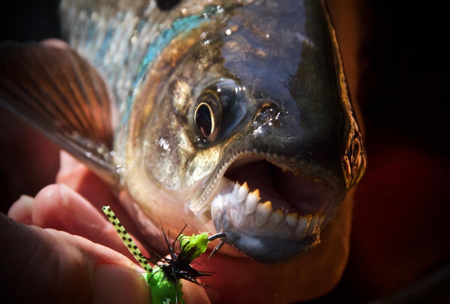 fly fishing costa rica machaca