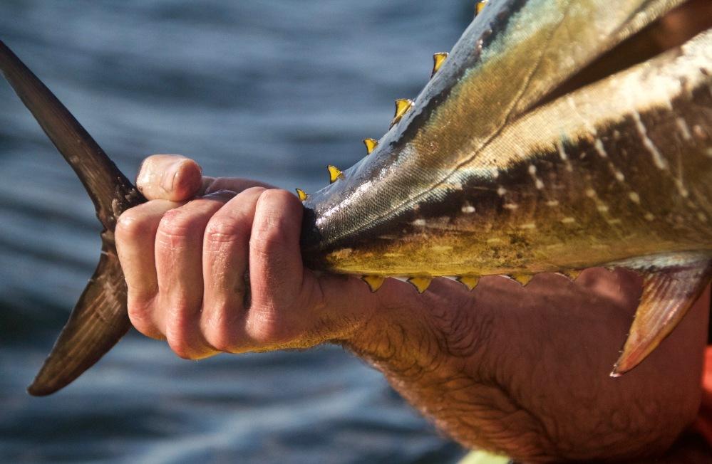 fly fishing for tuna