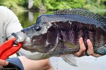 guapote rainbow bass costa rica